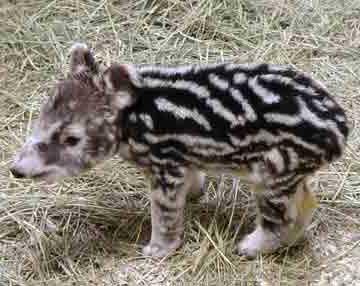 tapir7-03w